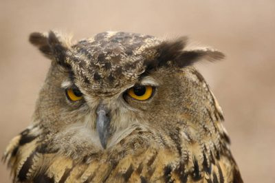 A Eurasian eagle owl (Bubo bubo), the world's largest owl species, at the Wild Bird Sanctuary near St. Louis.