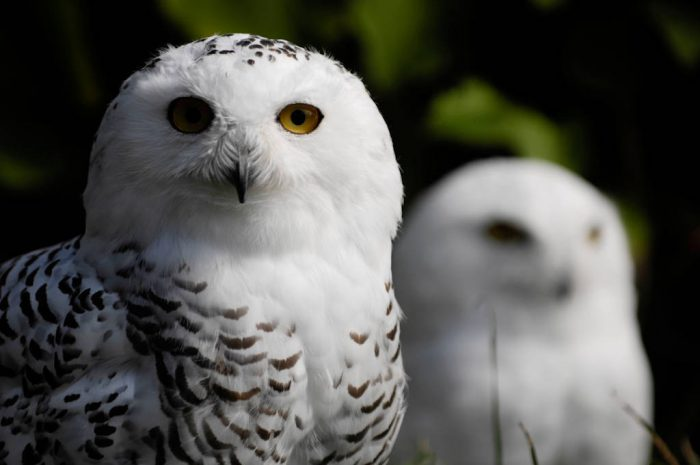 Two snowy owls (Bubo scandiacus) at the New York State Zoo.