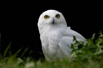 A snowy owl (Bubo scandiacus) at the New York State Zoo.