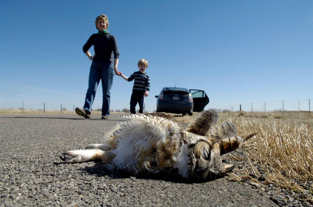 Photo: A great horned owl lies dead along a highway near Beaver, OK.