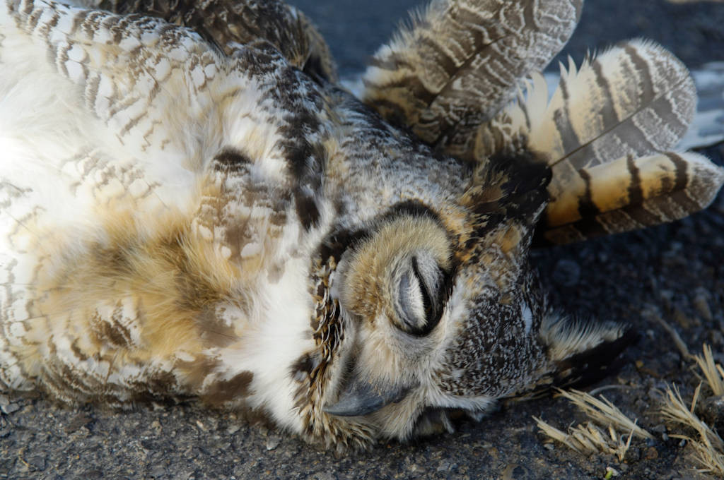 Photo: A great horned owl lies dead along a highway near Beaver, OK.