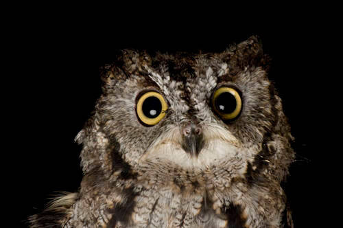 Photo: A western screech owl (Megascops kennicottii) at Wildlife Images, an animal rehabilitation center near Merlin, Oregon.
