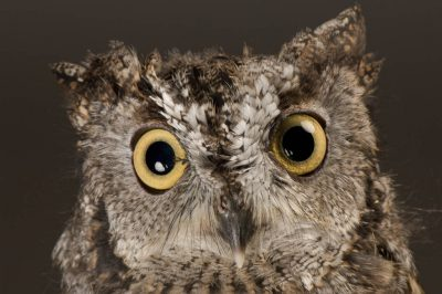 Photo: A western screech owl (Megascops kennicottii) at Wildlife Images, an animal rehabilitation center near Merlin, Oregon.