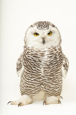 A young female snowy owl (Bubo scandiacus)at the Raptor Recovery Center, in Elmwood, Nebraska.