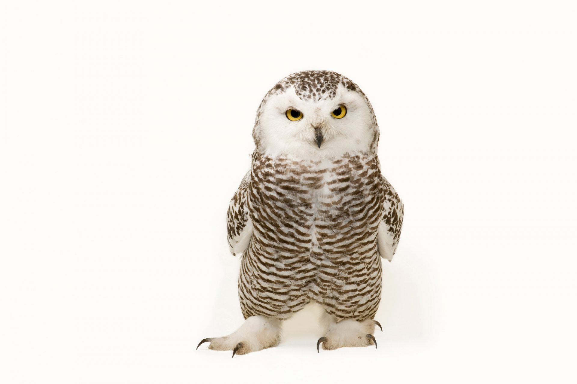 A young female snowy owl, Bubo scandiacus.