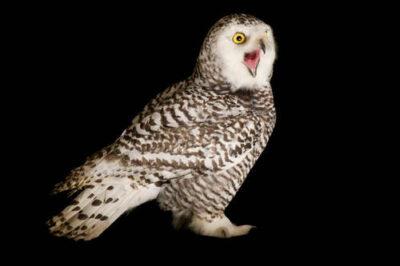 A young female snowy owl (Bubo scandiacus).