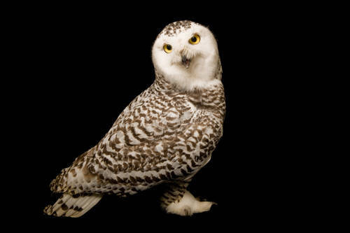 A young female snowy owl (Bubo scandiacus).