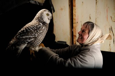 A young female snowy owl (Bubo scandiacus) with its handler.