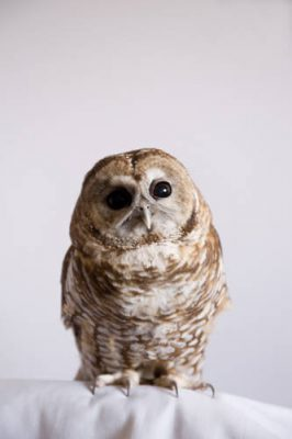 Manchado, a Mexican spotted owl (Strix occidentalis lucida) at The Wildlife Center in Espanola, New Mexico.