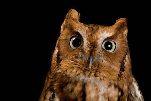 An eastern screech owl (Megascopes asio asio) at The Wildlife Center in Espanola, NM.