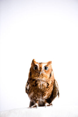 An eastern screech owl (Megascopes asio asio) at The Wildlife Center in Espanola, NM.