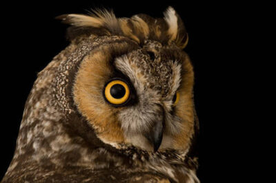 A long-eared owl (Asio otus) at The Wildlife Center in Espanola, NM.