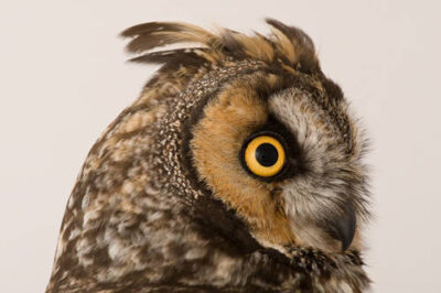 Photo: A long-eared owl (Asio otus) at The Wildlife Center in Espanola, NM.