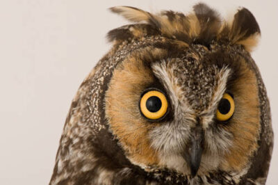 A long-eared owl (Asio otus tuftsi) at The Wildlife Center in Espanola, NM.