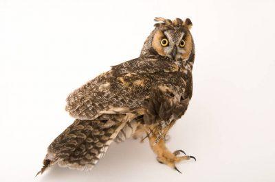 A long-eared owl (Asio otus tuftsi) at The Wildlife Center in Espanola, NM.