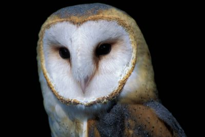 A close-up of an American barn owl (Tyto alba pranticola).