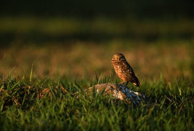 Photo: A burrowing owl (Athene cunicularia) in Brazil's Pantanal region.