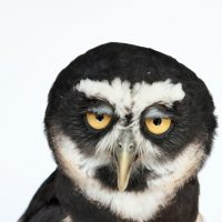 Photo: A spectacled owl (Pulsatrix perspicillata).