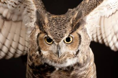 A portrait of a great horned owl (Bubo virginianus).