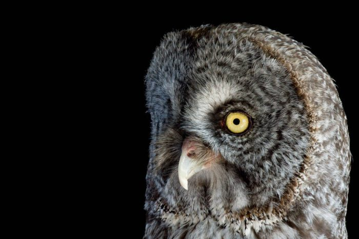 A great grey owl (Strix nebulosa nebulosa) at the New York State Zoo.