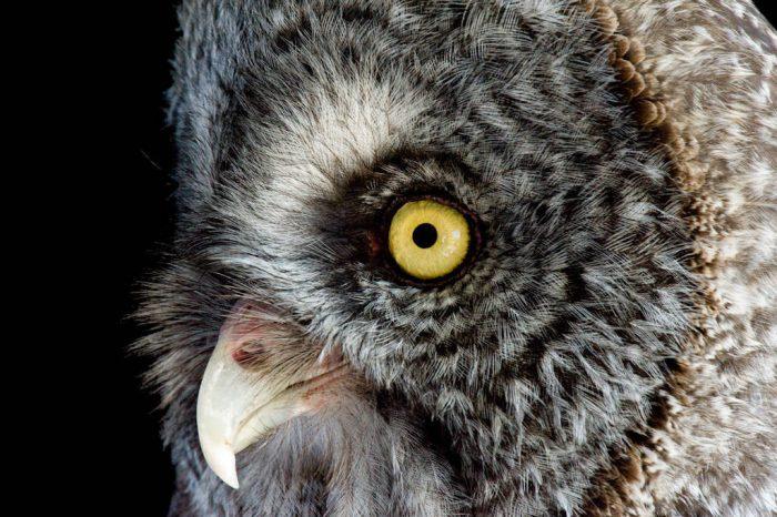 A great grey owl (Strix nebulosa nebulosa) at the New York State Zoo.