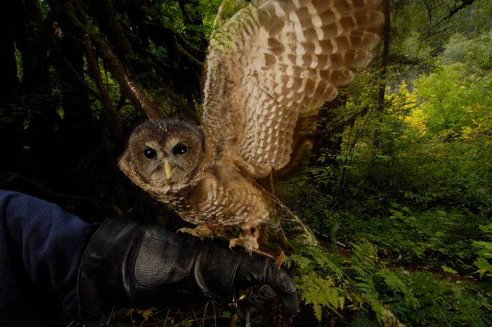 A federally threatened captive northern spotted owl (Strix occidentalis caurina) in healthy habitat in the Siskiyou National Forest near Merlin, Oregon.