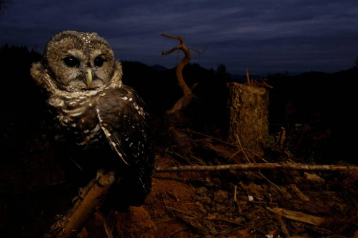 Photo: A northern spotted owl (Strix occidentalis) in a fresh clear cut near Merlin.