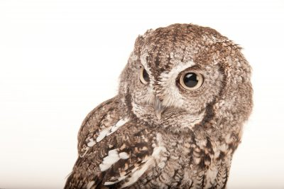 Eastern screech owl (Megascops asio) at the Cleveland Metroparks Zoo.