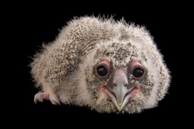Picture of a 24-day-old milky eagle owl chick (Bubo lacteus) at Zoo Atlanta.
