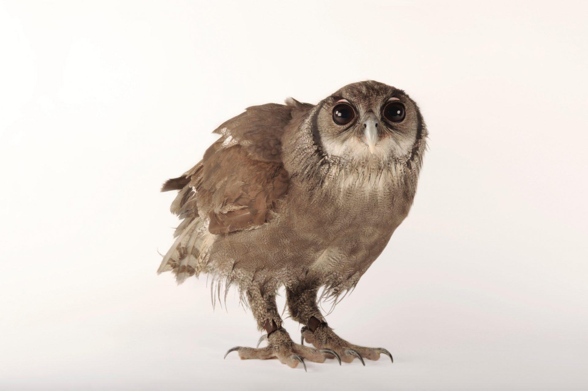Picture of a milky eagle owl (Bubo lacteus) at Zoo Atlanta.