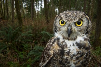 A great horned owl (Bubo virginianus) at Northwest Trek Wildlife Park in Eatonville, Washington.