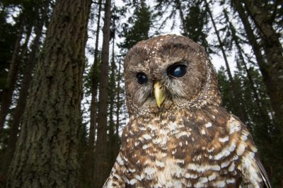 A federally threatened northern spotted owl (Strix occidentalis caurina) at Northwest Trek Wildlife Park in Eatonville, Washington.