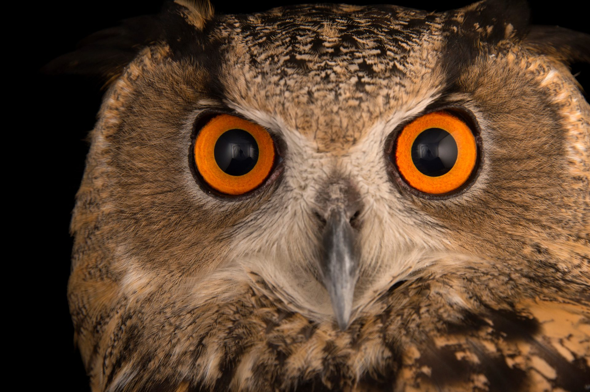 Picture of a Spanish eagle owl (Bubo bubo hispanus) at the Palm Beach Zoo.