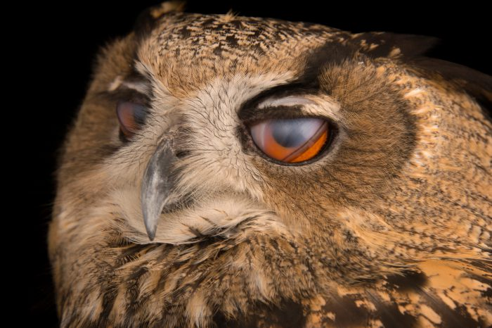 The inner eyelids of a Spanish eagle owl (Bubo bubo hispanus) at the Palm Beach Zoo.