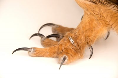 Picture of the feet of a Spanish eagle owl (Bubo bubo hispanus) at the Palm Beach Zoo.