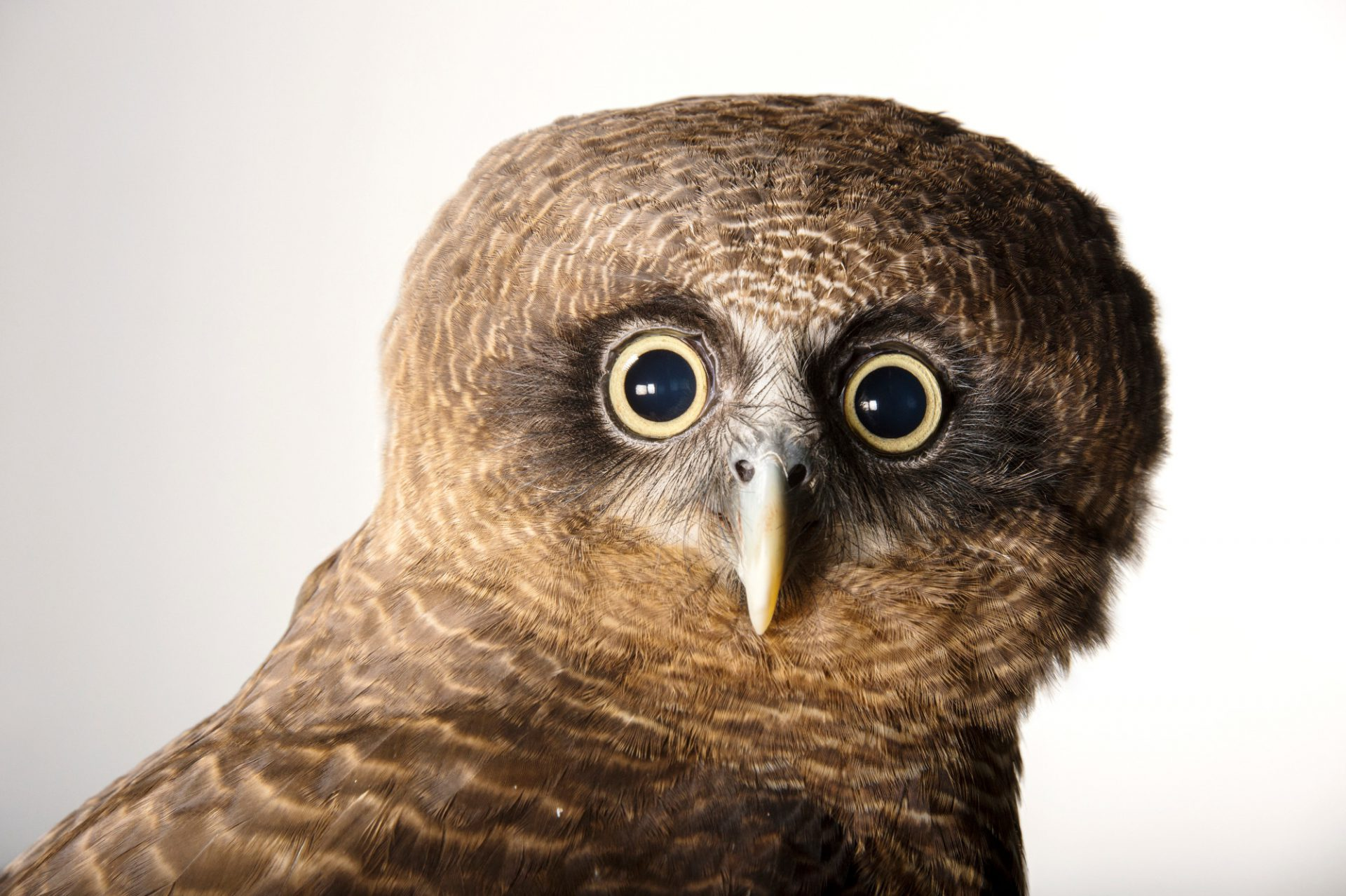 Picture of a rufous owl (Ninox rufa) named Angus at the Taronga Zoo in Sydney, Australia.