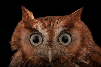A red phased Eastern screech owl (Megascops asio) at the Audubon Center for Birds of Prey.