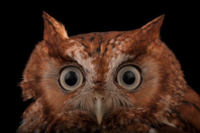 A red phased Eastern screech owl (Megascops asio floridanus) at the Audubon Center for Birds of Prey.