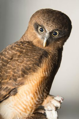 Picture of a rufous owl (Ninox rufa) named Angus at the Taronga Zoo.