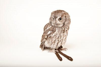 An Eastern screech owl (Megascops asio) at the Cleveland Metroparks Zoo.