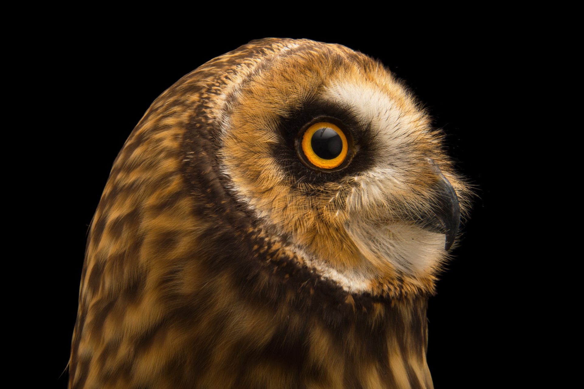 Picture of a short-eared owl (Asio flammeus domingensis) at the Parque Zoologico Nacional in Santo Domingo, Dominican Republic.
