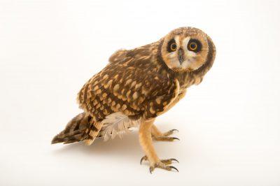 Picture of a short-eared owl (Asio flammeus domingensis) at the Parque Zoologico Nacional in Santo Domingo, Dominican Republic.