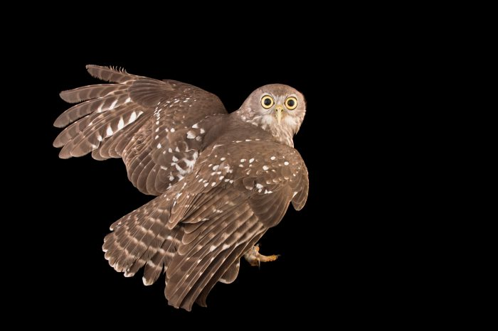 Picture of a barking owl (Ninox connivens) at the Healesville Sanctuary.