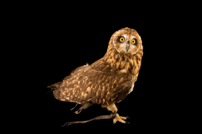 Picture of a Hawaiian short-eared owl (Asio flammeus sandwichensis) at the LA Zoo.
