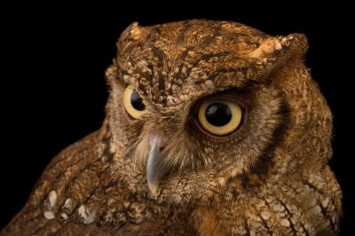 Picture of a tropical screech owl (Megascops choliba luctisomus) at the Summit Municipal Park in Gamboa, Panama.