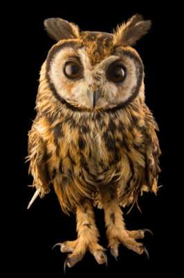 Picture of a striped owl (Pseudoscops clamator forbesi) at the Nispero Zoo.