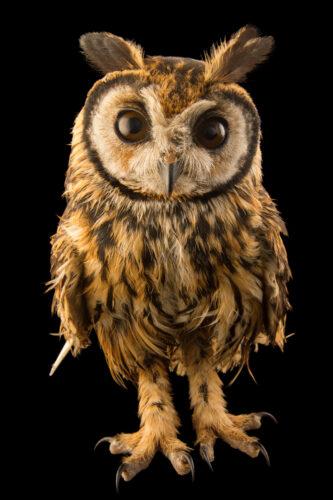 Photo: A striped owl (Asio clamator forbesi) at the Nispero Zoo.