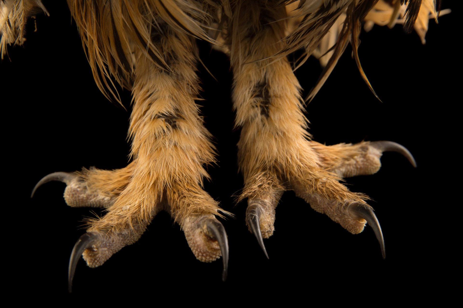 Picture of the feet of a striped owl (Pseudoscops clamator forbesi) at the Nispero Zoo.