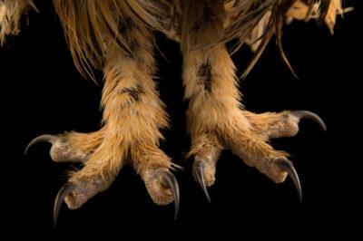 Photo: The feet of a striped owl (Asio clamator forbesi) at the Nispero Zoo.