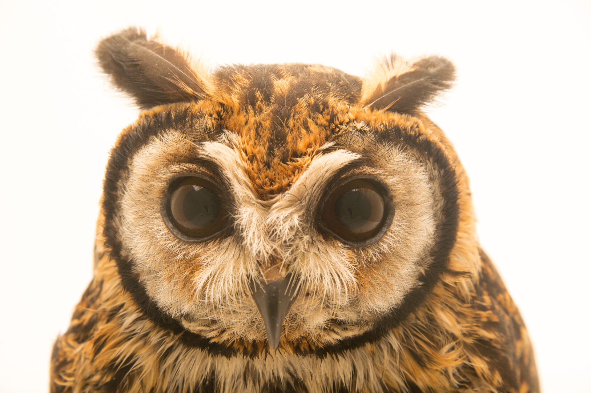 Photo: A striped owl (Asio clamator forbesi) at the Nispero Zoo.